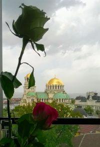 Роза за София